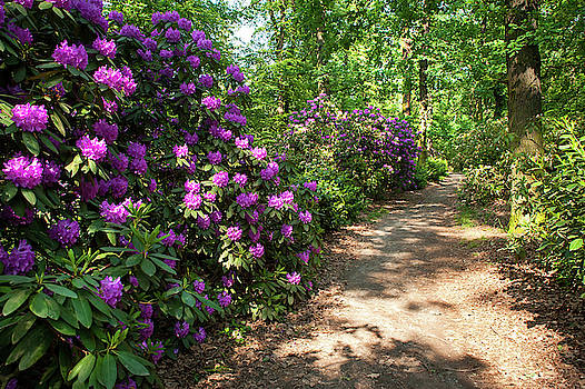 Jenny Rainbow - Spring Marvels. Purple Rhododendron Blooms