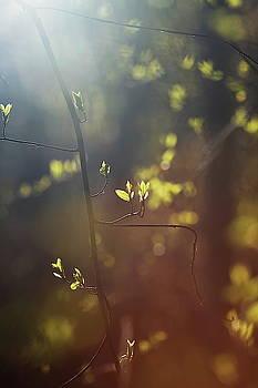 Spring sunshine illuminating budding leaves 1 by Ulrich Kunst And Bettina Scheidulin