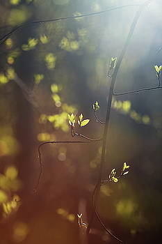 Spring sunshine illuminating budding leaves 2 by Ulrich Kunst And Bettina Scheidulin