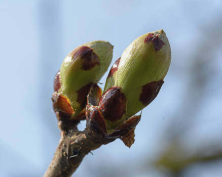 Jacek Wojnarowski - Spring Tree Buds Opening C