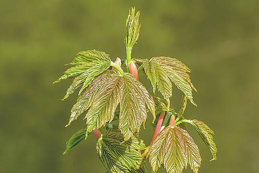 Jacek Wojnarowski - Spring Tree Buds Opening P