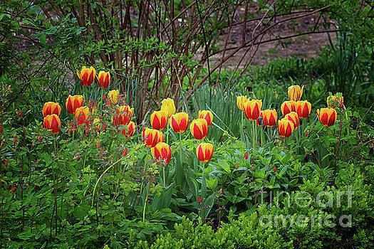Spring Tulips by Karen Adams