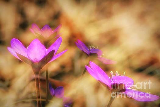 Spring wild flower 4 by Veikko Suikkanen