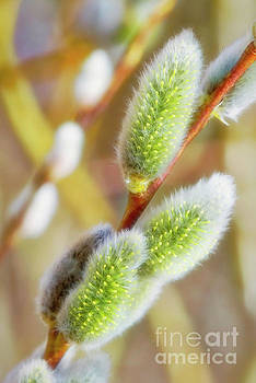 Spring willow 4 by Veikko Suikkanen