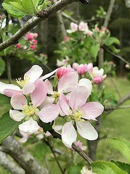 Springtime Apple Blossom Glory by Kathy Clark