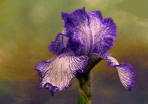 Springtime Bearded Iris by Mary Lynn Giacomini