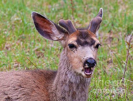 Springtime Buck Mule Deer by Steve Krull