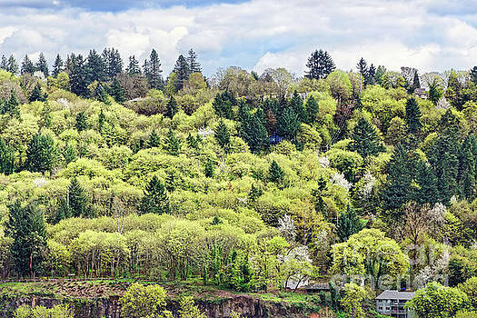 Springtime mixed conifer and deciduous trees by Robert C Paulson Jr