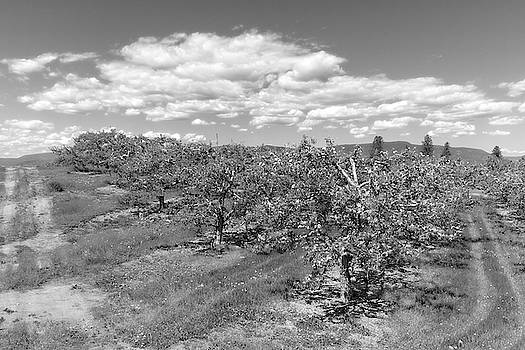 Springtime Orchard Black and White by Allan Van Gasbeck