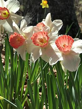 Springtime Pink Daffodils In All Their Beauty  by Kathy Clark