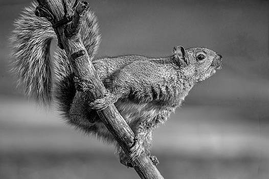 Squirrel In Black and White by Cathy Kovarik