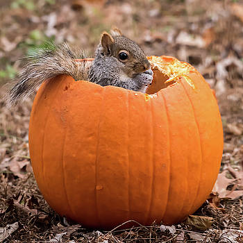 Squirrel In Pumpkin Square by Terry DeLuco
