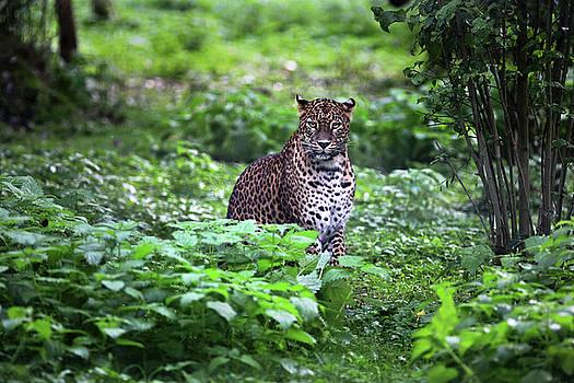 Sri Lanka Leopard by Fred Hood