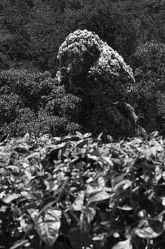 SSK 9219 African Tulip Tree. B/W by Sunil Kapadia