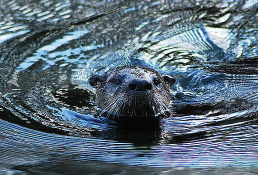 St John's River Otter by Bob O'Dean