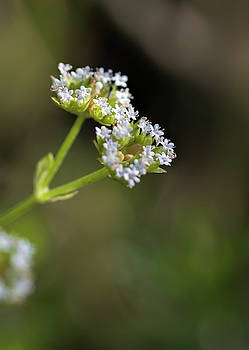 Stadium Lights Wildflowers -Valerianella radiata 2 by Kathy Clark