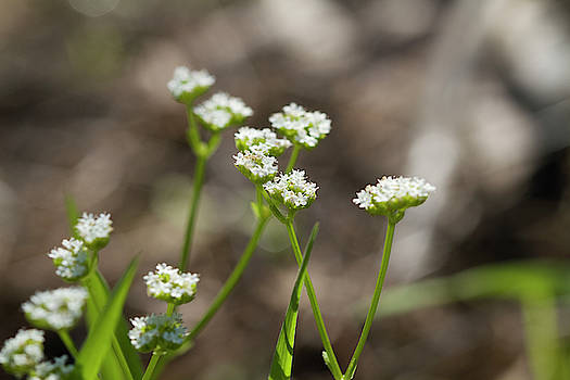 Stadium Lights Wildflowers -Valerianella radiata  by Kathy Clark
