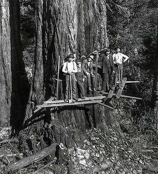 Daniel Hagerman - STAKING OUT a GIANT SEQUOIA c. 1889