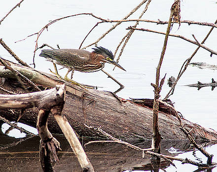 Stalking Green Heron by Norman Johnson
