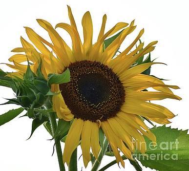 Cindy Treger - Standing Tall - Sunflower