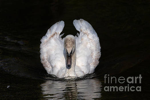 Staring Swan by Alma Danison