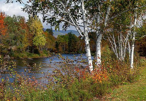 Stark, NH Fall White Birch  by Betty Pauwels