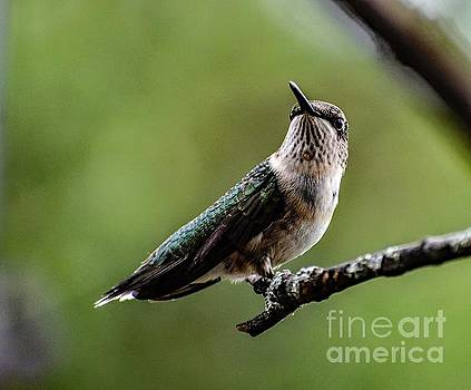 Starry Eyed Ruby-throated Hummingbird by Cindy Treger