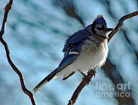 Cindy Treger - Staying Warm - Blue Jay