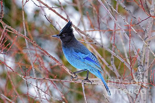 Stellers Jay Cyanocitta stelleri winter head crest Oregon USA by Robert C Paulson Jr