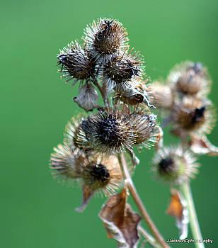 Sticky weed  by Jonathan Jackson Coe