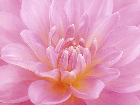 Still Life Photograph, Close-up Of Pink by Abdul Kadir  Audah