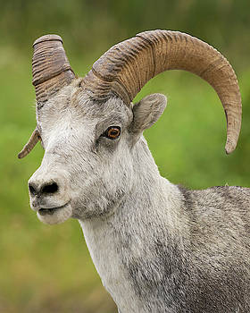 Stone's Sheep ram portrait by Doug Herr