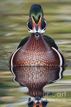 Straight on Wood duck  by Bryan Keil