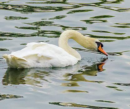Strasbourg Swan by Paul Croll