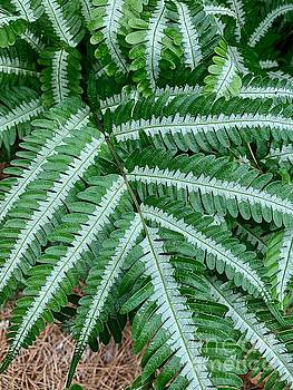 Striped Ferns by Linda Covino