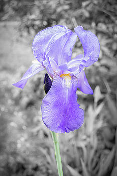 Study of the Iris by Andrea Swiedler