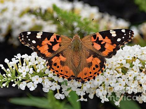 Cindy Treger - Stunning Painted Lady