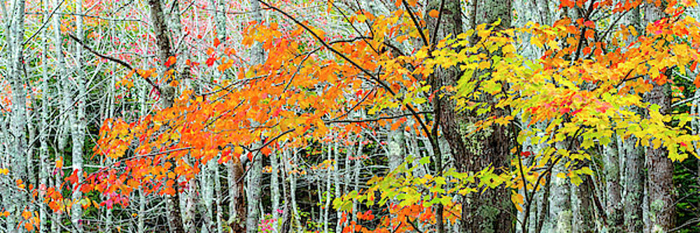 Sugar Maple Acer Saccharum In Autumn by Panoramic Images