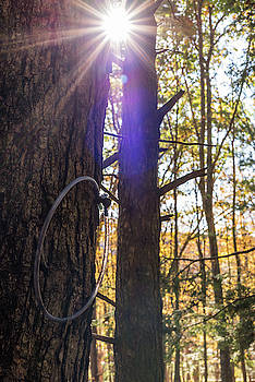 Sugar Maple Tree Tap by Terry DeLuco