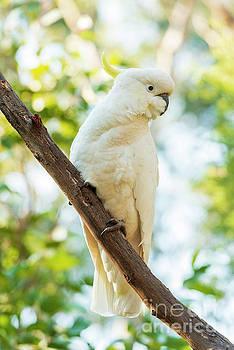Tim Hester - Sulphur-Crested Cockatoo Bird
