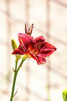Summer Flower 2 by David Stasiak
