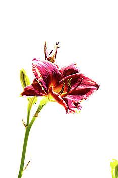 Summer Flower 3 by David Stasiak