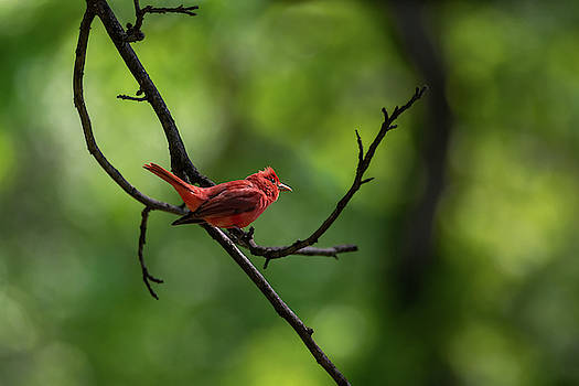 Summer Tanager Aglow by Debra Martz