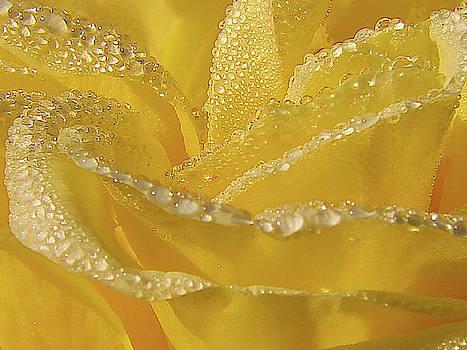 Sun Drenched Rose Macro by Blair Wainman
