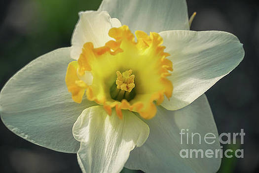 Sun kissing daffodil by Claudia M Photography