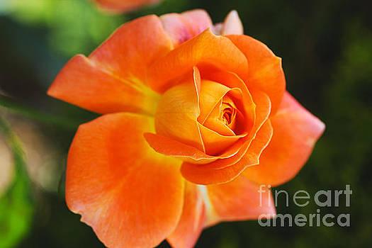 Sun Summer Orange Rose by Joy Watson