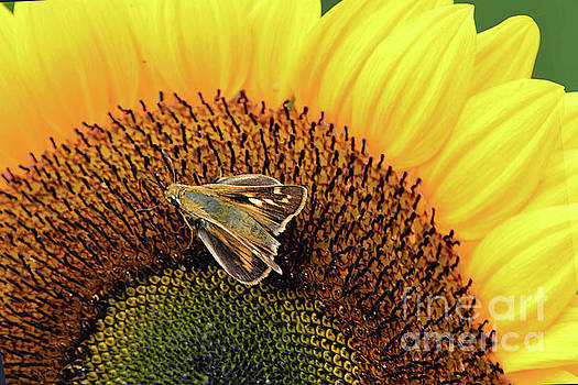 Regina Geoghan - Sunflower and Skipper Butterfly