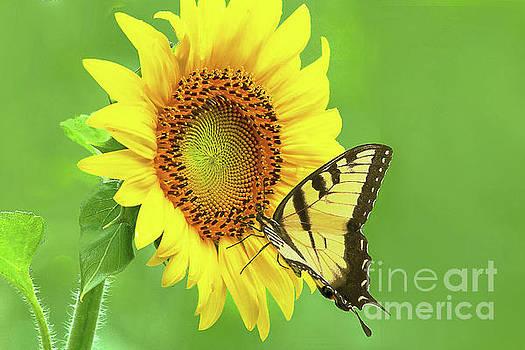 Regina Geoghan - Sunflower and Swallowtail