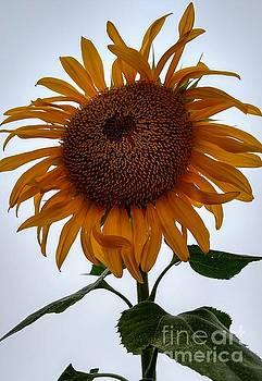 Beatrice Cox - Sunflower Dance