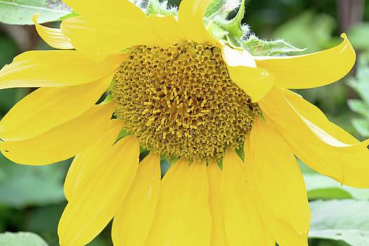 Sunflower by David Stasiak